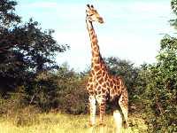 Südafrika Giraffe Tiere Kruger Nationalpark Tierpark